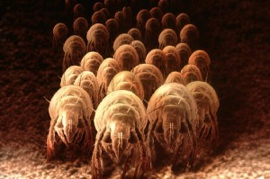 dustmites1